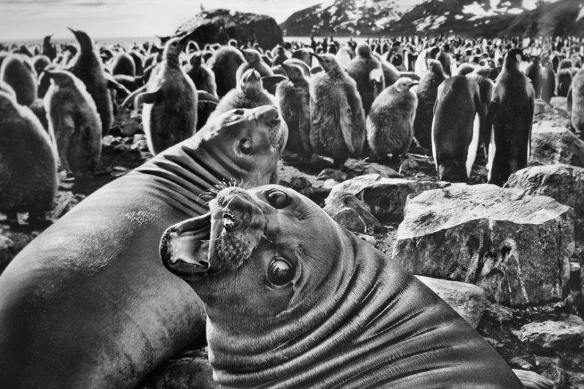 Southern-elephant-seal-calves